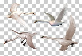 Bird Goose Whooper Swan Black Swan PNG