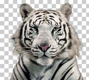 White Tiger Bengal Tiger PNG