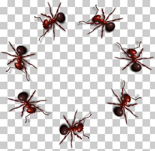 Black Carpenter Ant Insect PNG