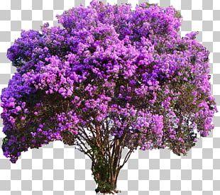 Crepe-myrtle Tree Garden Shrub PNG