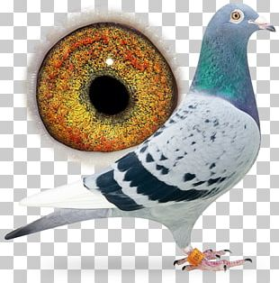 Racing Homer Columbidae Pigeon Racing Bird Breed PNG