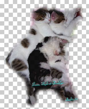 Aegean Cat Kitten European Shorthair Manx Cat Norwegian Forest Cat PNG