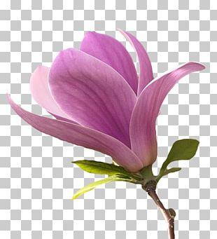 Flower Magnolia Petal Plant Stem PNG