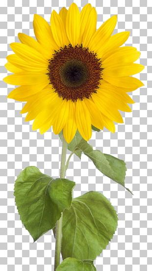 Common Sunflower Desktop PNG