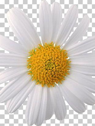 Oxeye Daisy Chamomile Common Daisy Daisy Family PNG