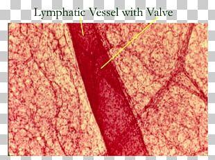 Lymphatic Vessel Lymphatic System Lymph Node Histology PNG