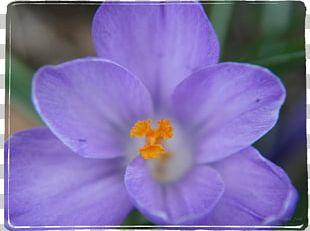 Violet Purple Lilac Lavender Crocus PNG