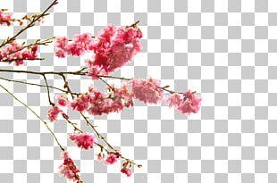 Cherry Blossom Flower Branch PNG