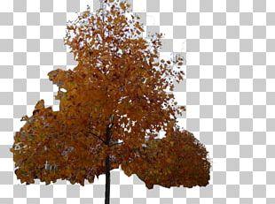 Maple Ginkgo Biloba Christmas Tree Deciduous PNG