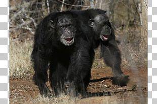 Common Chimpanzee Gorilla Monkey Chimps Inc. Ngamba Island Chimpanzee Sanctuary PNG