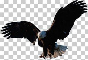 Bald Eagle Eagle Flight PNG