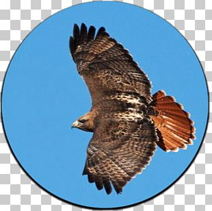 Hawk Bird Yellowstone National Park Bald Eagle PNG