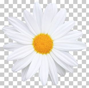 Flower Common Daisy Icon PNG