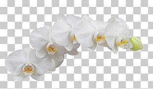 Moth Orchids Flower PNG