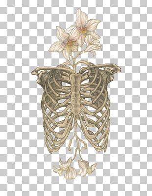 Human Skeleton Anatomy Skull Rib Cage PNG