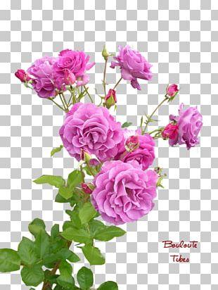 Garden Roses Cabbage Rose China Rose French Rose Floribunda PNG