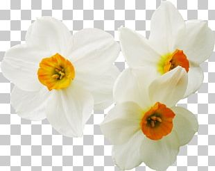 Daffodil Narcissus Flower Plant PNG