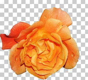 Garden Roses Beach Rose Cabbage Rose Petal Flower PNG
