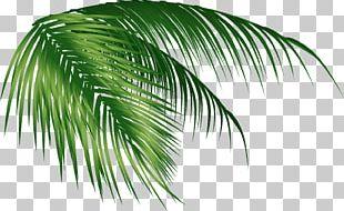 Arecaceae Coconut Leaf PNG