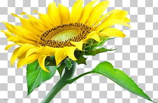 Portable Network Graphics Common Sunflower Desktop PNG