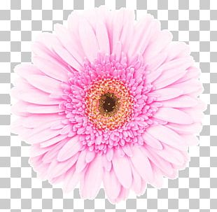 Transvaal Daisy Pink White Stock Photography Red PNG