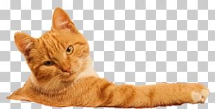 Banya European Shorthair Sauna American Shorthair Kitten PNG