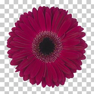 Transvaal Daisy IStock Daisy Family Floristry Stock Photography PNG