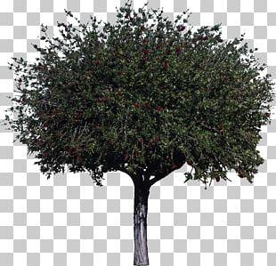 Tree Woody Plant Melaleuca Citrina Shrub PNG