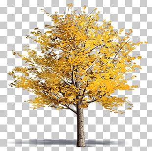 Twig Plane Trees Ginkgo Biloba Plane Tree Family PNG