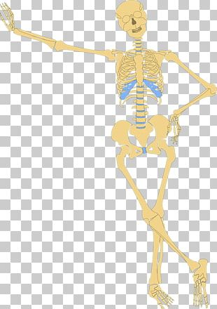 Human Skeleton Human Body Bone PNG