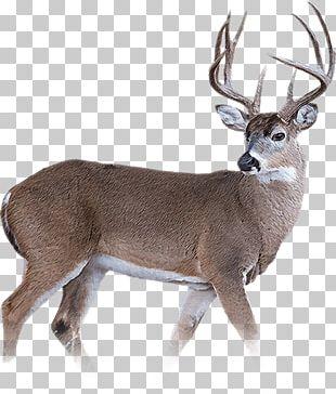 Wild Boar White-tailed Deer Reindeer Musk Deer PNG
