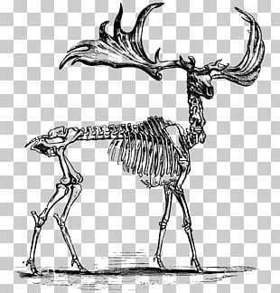 Red Deer Elk Skeleton Anatomy PNG