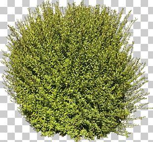 Tree Shrub Plant PNG