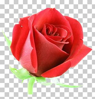 Rose Flower Red Stock Photography PNG