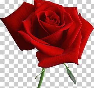 Garden Roses Blue Rose Flower PNG