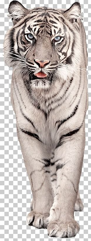 White Tiger Cat PNG