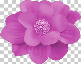 Dahlia Cut Flowers Pink M Rose Family PNG