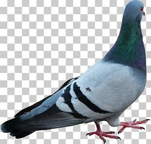 Stock Dove Bird Beak Feather PNG