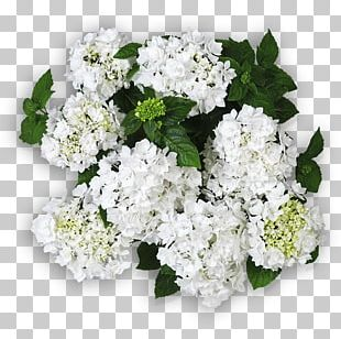 Hydrangea Cut Flowers Floral Design Flower Bouquet PNG