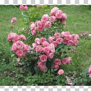Garden Roses Floribunda Cabbage Rose China Rose French Rose PNG
