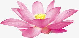 Lotus Flowers PNG