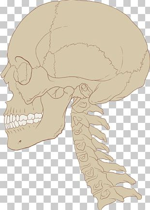 Human Brain Skull Central Nervous System Anatomy PNG