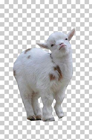 Nigerian Dwarf Goat Sheep American Lamancha Goat Pygmy Goat Cattle PNG