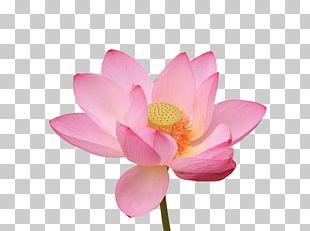 Nelumbo Nucifera Water Lily Photography Flower PNG