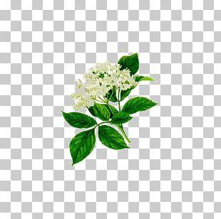 Elder Herbalism Medicinal Plants Flower PNG