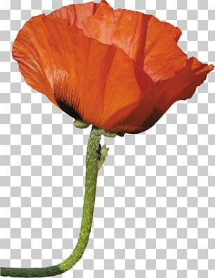 Poppy Flower Photography Desktop PNG