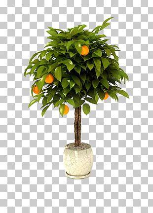 Bonsai Tree Citrus × Sinensis Lemon Garden PNG