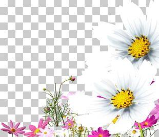 Chrysanthemum Oxeye Daisy PNG