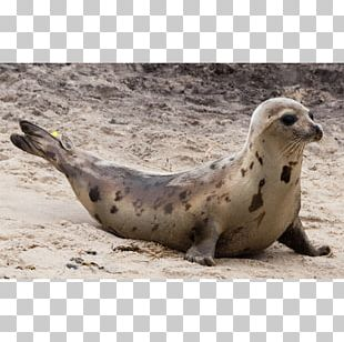 Harbor Seal Sea Lion Pinniped Terrestrial Animal PNG