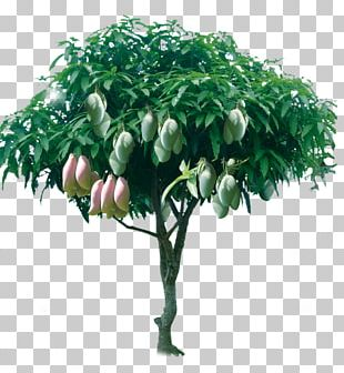 Tree Mango PNG